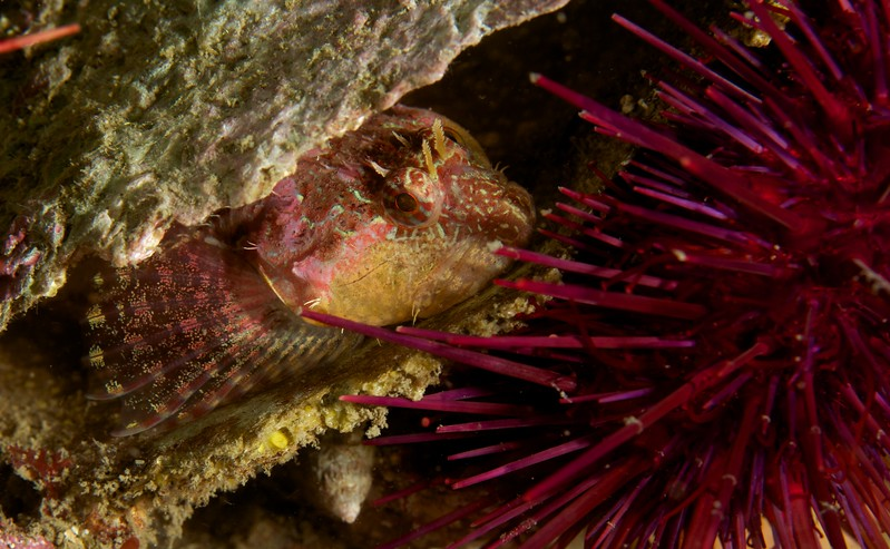 Mature Scaleyhead Sculpin with a Purple Sea Urchin