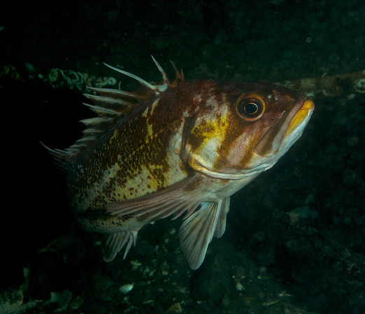 Copper Rockfish giving me the eye, or rather the raised dorsal.