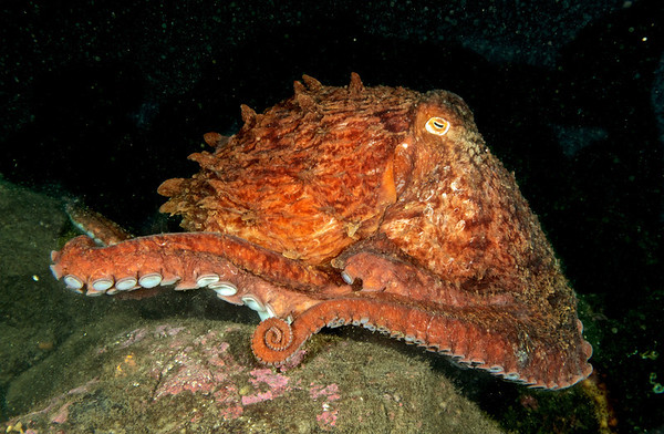Giant Pacific Octopus on the run.